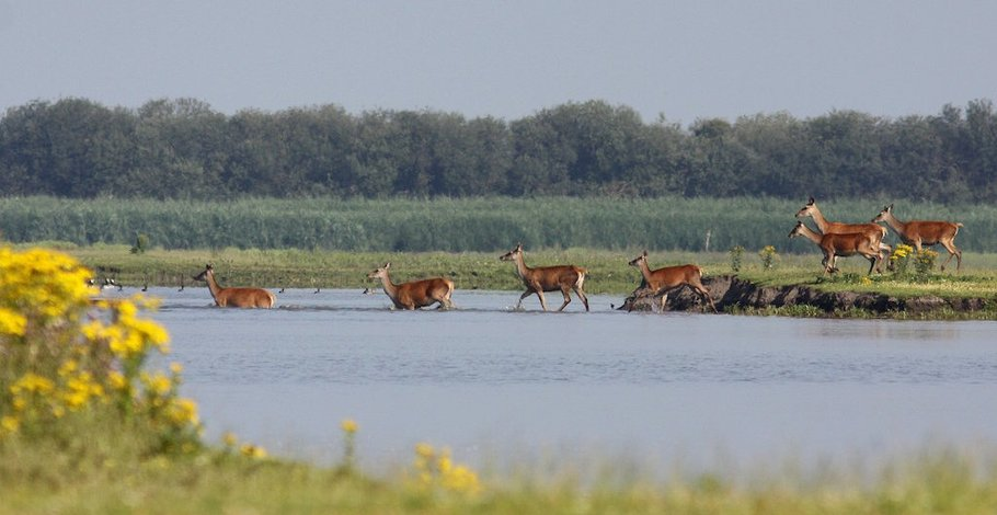 Deer in water (by forester Hans Breeveld)